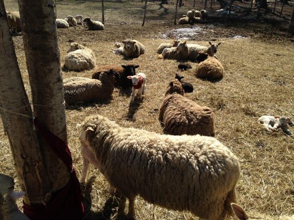 Lambs-3.jpg