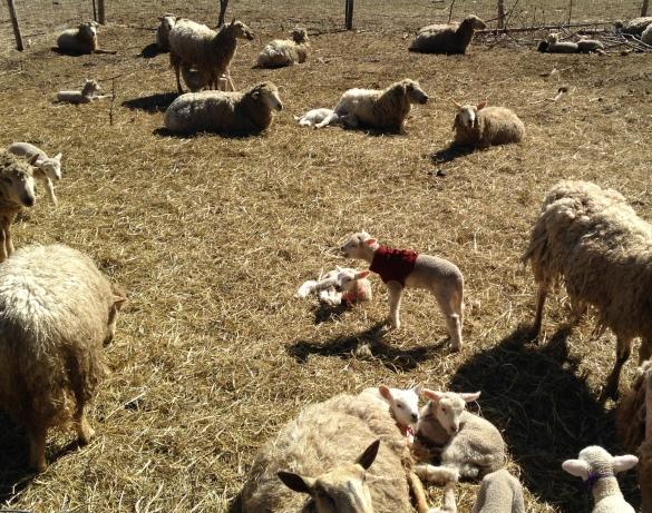 Lambs-5.jpg